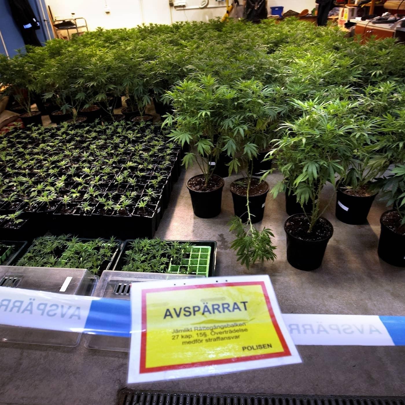Det gröna guldets pris – cannabis och dödsskjutningarna
