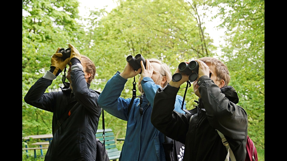Johan Lind, Peder Edvinsson och Anton Gustavsson på spaning efter en mindre flugsnappare i Tantolunden i Stockholm. (Foto: Urban Björstadius)