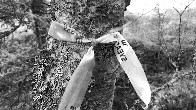 Björk Svea skog