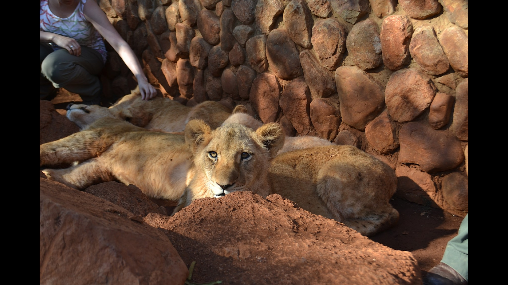 Lejon i fångenskap