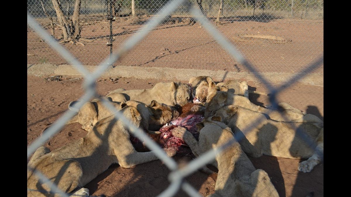 Lejon i fångeskap