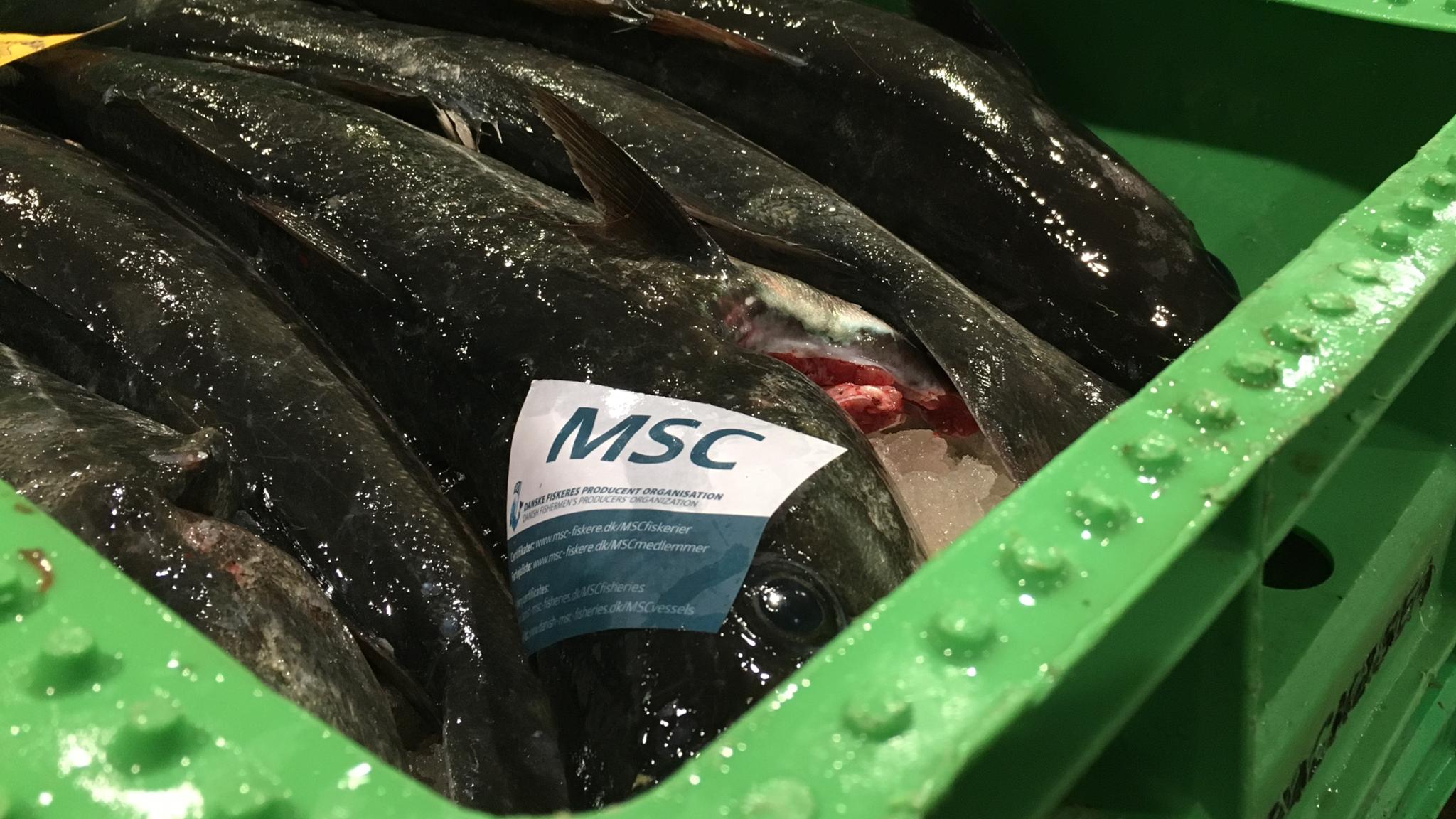 Msc fisk kaliber