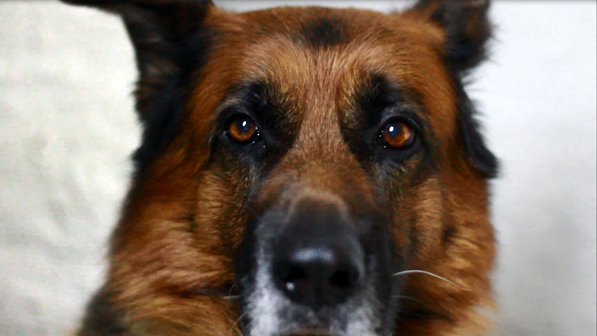 Hundfabriken - en granskande serie om försvarsmaktens hundar.