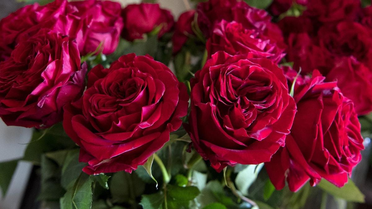 Kuva ruusuista.
