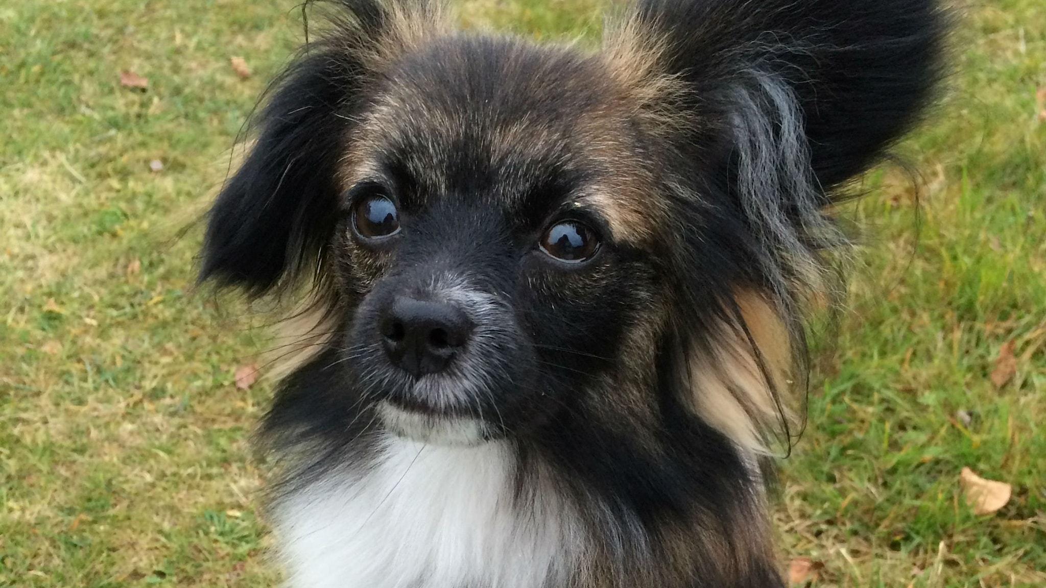 Hundar visar ofta tydligt vad de känner. Foto Lisa Henkow/Sveriges Radio.