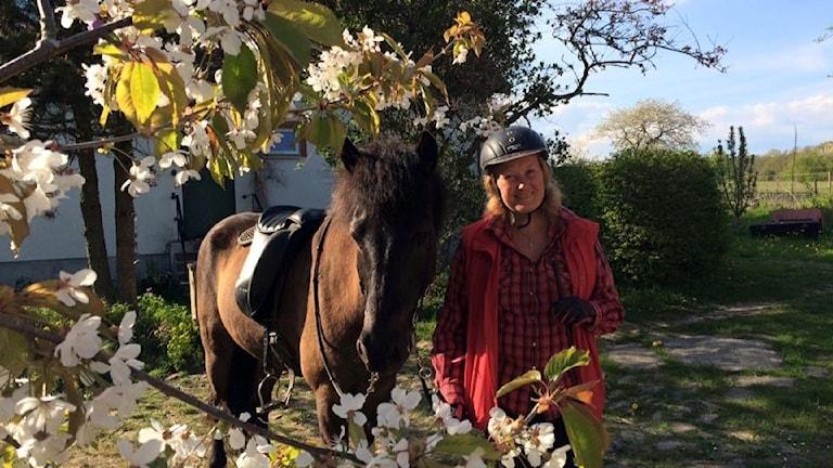 Häst, körsbärsblommor, sadel, ryttare, ridhjälm