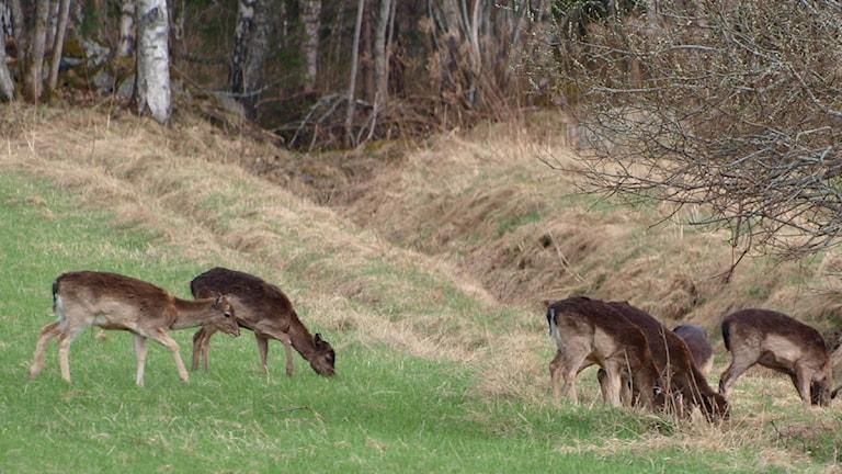 Dovhjortar är ett av de djuren som ofta blir påkörda. Foto: Valdermar Andersson/Sveriges Radio Örebro.
