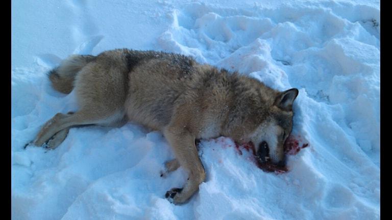 Det skjutna vargen. Foto: Jan Gustafsson