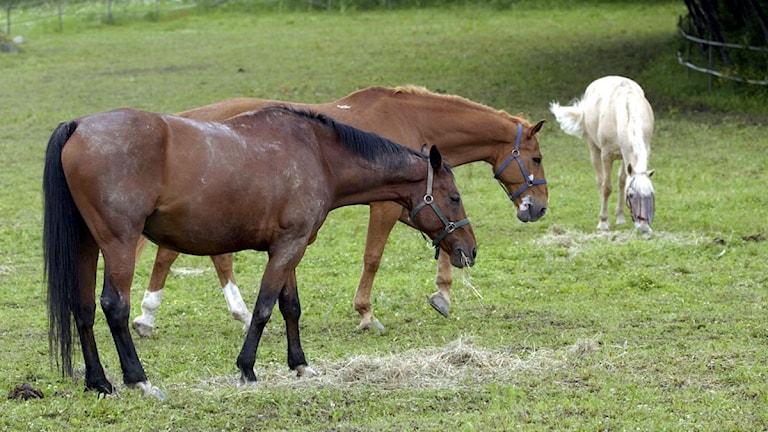 Hästar i hage. Foto: Fredrik Sandberg/Scanpix.