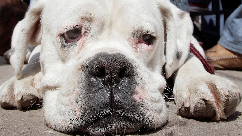 En vit hund ligger med ansiktet mot kameran