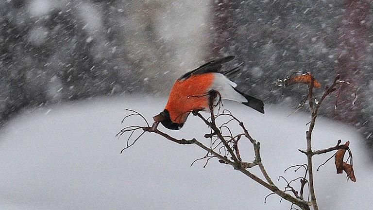 """En akrobat, domherren, gör allt för att få fram frö ur en """"näsa"""" på lönnen. Foto: Iréne Södergren"""