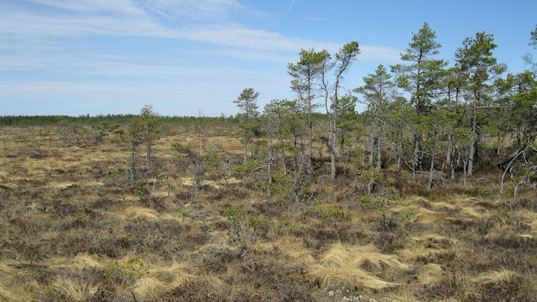 Rankemossen är ett av de närliggande naturreservaten. Foto: Isabelle Strengbom/Sveriges Radio