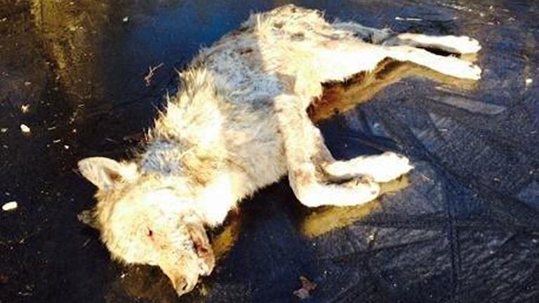 En varg hittades död och fastfrusen på sjön Grecken.