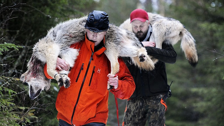 Två vargar skjutna i Värmland bärs ut ur skogen. Foto: Peter Bäcker /TT