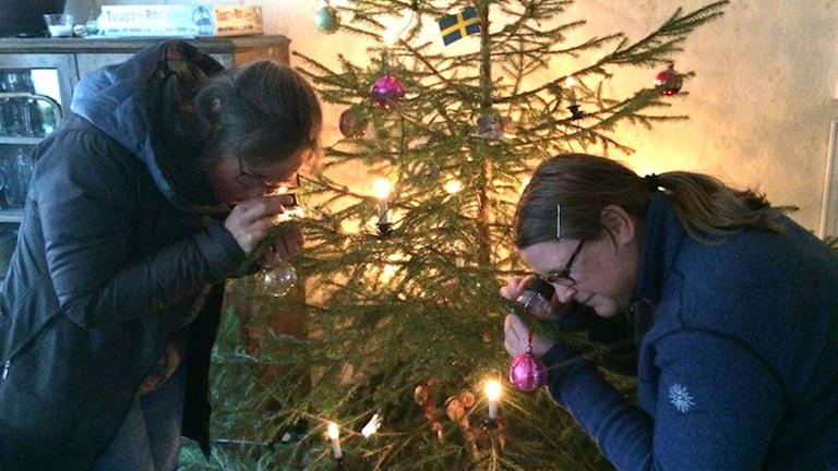Åsa Wistrand och Kajsa Grebäck undersöker alla småkryp i granen med luppar. Foto: Maria Rinaldo/Sveriges Radio