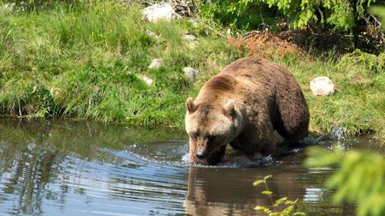 Brunbjörn, björn, mors lilla olle, Orsa, Grönklitt