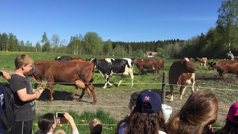 Nu är äntligen kossorna lösa i hagen i Kvinnersta.