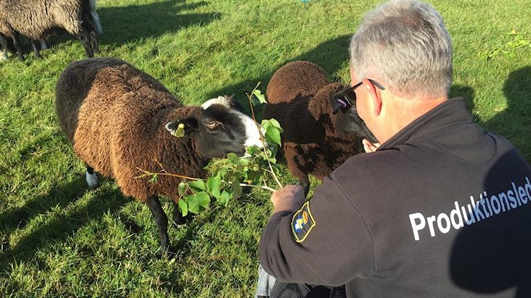 Svante Karlsson matar fåren med en gren med gröna blad.