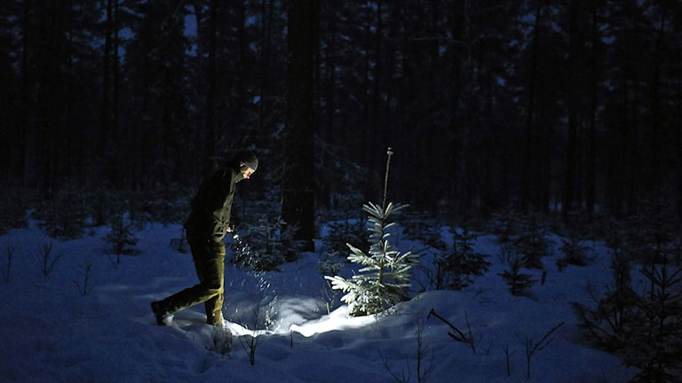 Jägare söker med ficklampa efter spår av vargen.