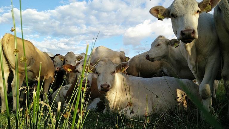 Ett gäng kossor ligger ner i gräset