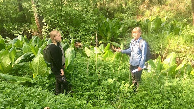 Länsstyrelsen på plats vid den invasiva skunkkallans koloni i Örebro län. Inger Holst till höger.