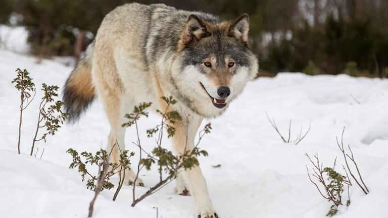 varg som går i snön