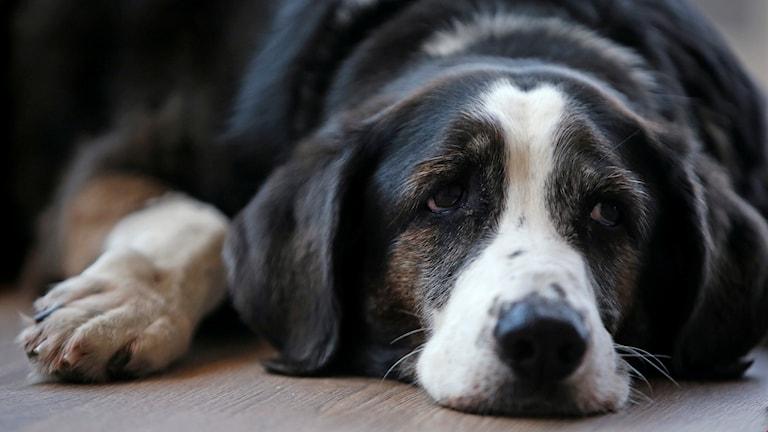 En hund ligger på golvet