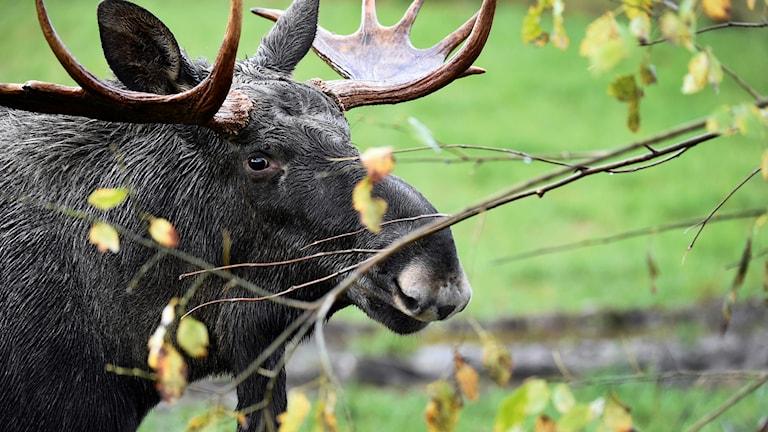Hunting season for the elk or European moose. Photo: MIKAEL FRITZON / TT