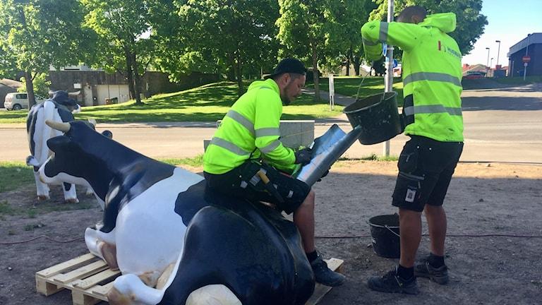 Peter Sowa och Patrik Nilsen Andersson fyller korna efter att några stals på Mejeritorget med cement.