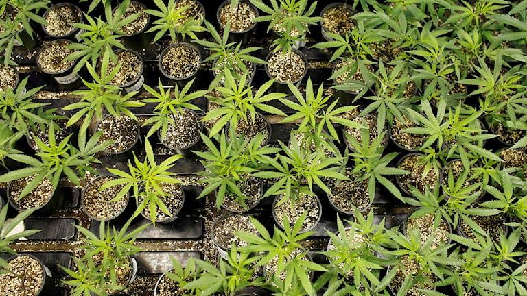 Cannabisplantor