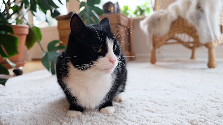 Ralf, katt, Stora Mellösa