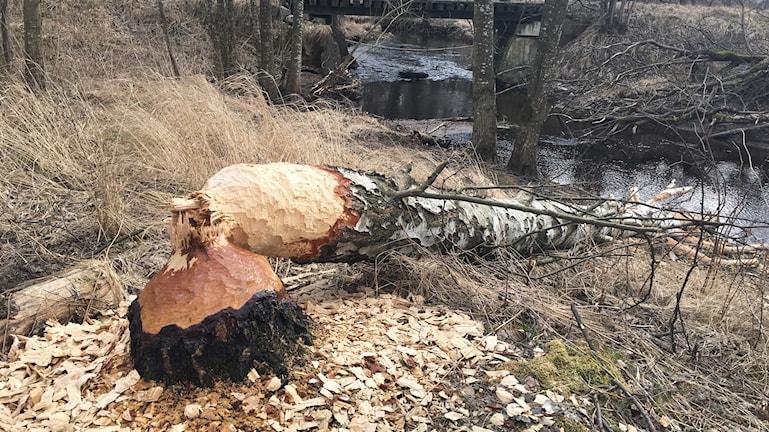 Bäver fäller träd längs åar och bäckar