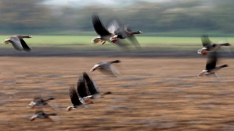 Flygande vildgäss.