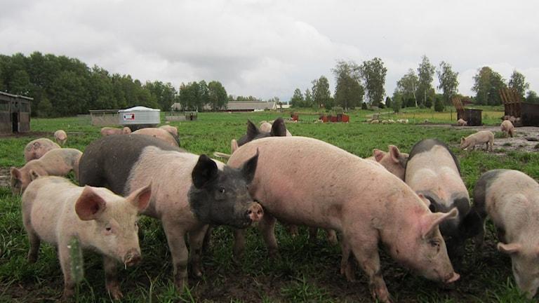 Nyfikna grisar i hage på Kalvsjö gård utanför Motala.