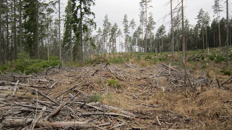 Körväg för skogsredskap byggd av grenar. Foto: Raina Medelius/Sveriges Radio