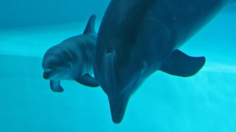 Delfinhonan Ariel med kalv Foto: Sunna Edberg - Kolmården