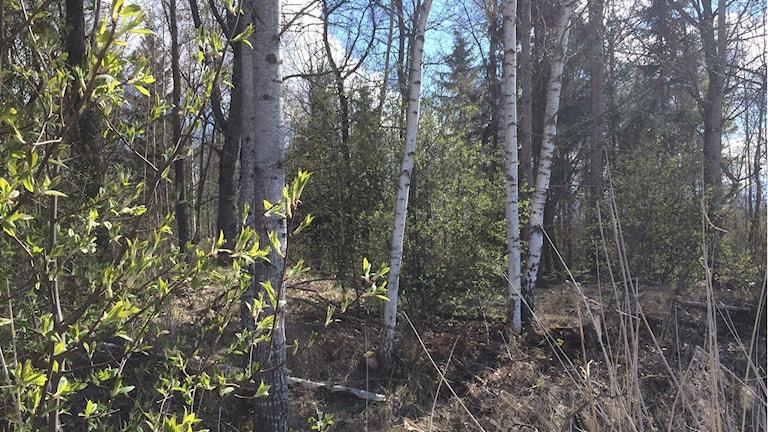 Vårbild från en skog med knoppande träd och buskar.