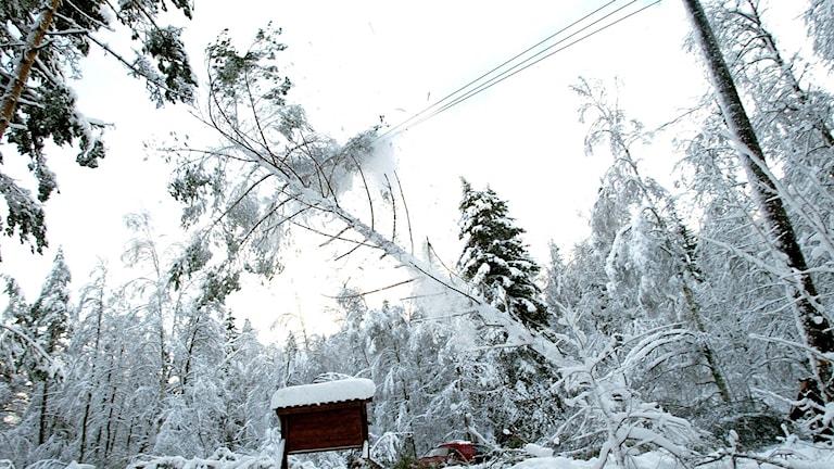 Nedfallet träd vid elledning. Foto: Pontus Lundahl