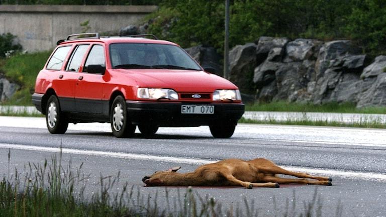 Ett dött rådjur ligger på vägen och en bil passerar. Arkivbild: Björn Larsson Ask/TT