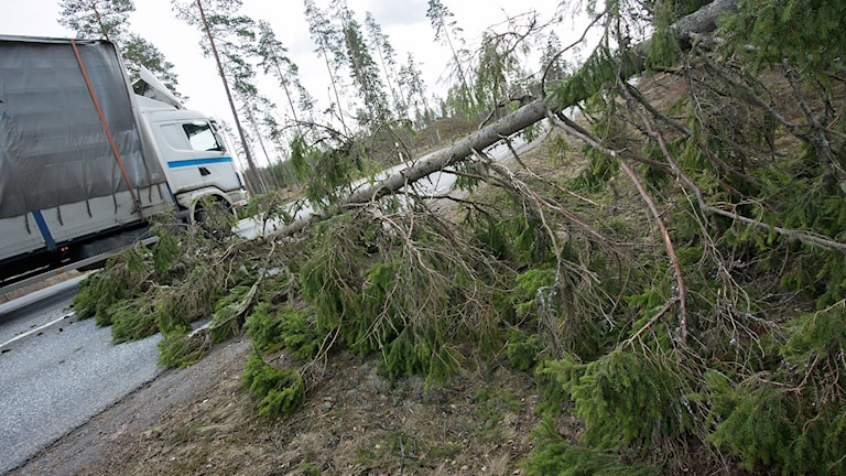 Stormfällt träd. Foto: Johan Nilsson/TT