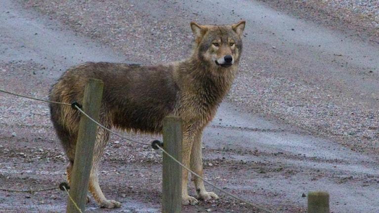 En varg söder om Vånga.