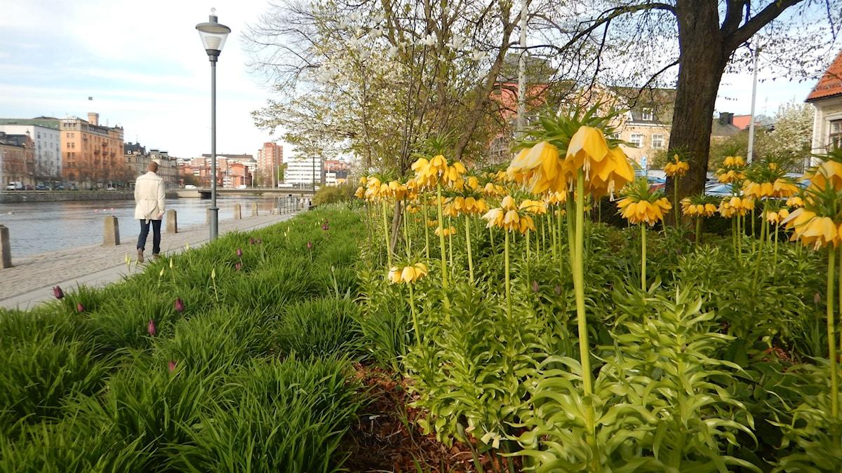 Plantering med vårblommor utmed kajen i Norrköping Foto:Maria Turdén/Sveriges Radio