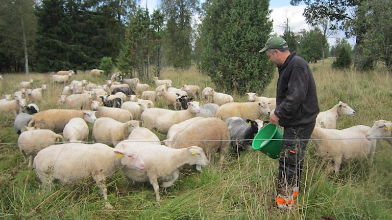 Erik Andersson bland fåren i en av gårdens hagar. Foto: Raina Medelius/Sveriges Radio