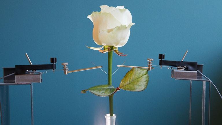 Den elektriska rosen. Pressfoto: Linköpings Universitet