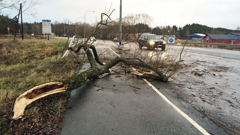 Nedblåst träd på Lindövägen i Norrköping Foto: Pelle Zettersten/Sveriges Radio