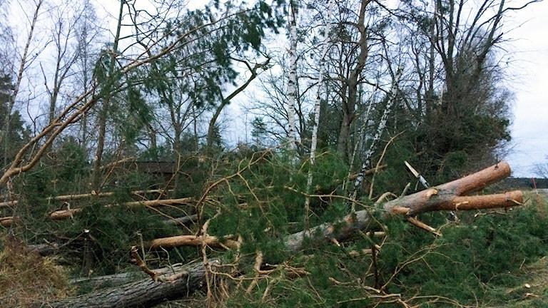 Stormen fällde många träd i länets skogar. Foto: Lisen Elowson Tosting/Sveriges Radio