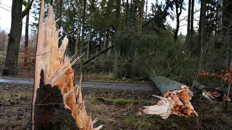 Stormfälld skog. Foto: Johan Nilsson / TT