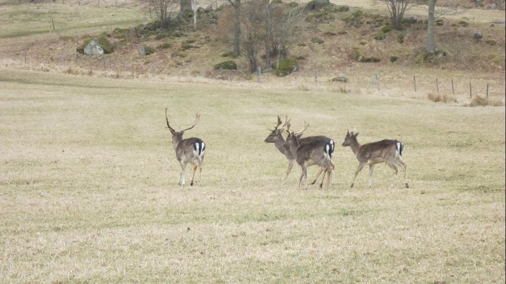 Fyra dovhjortar, tre med horn och en hind.