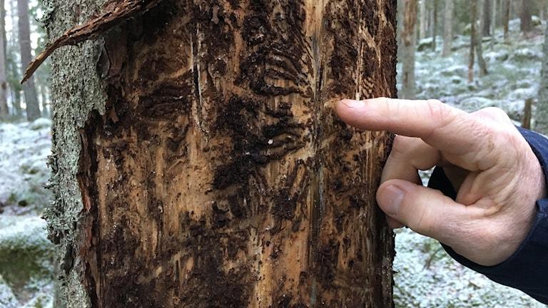 Spår under barken efter granbarkborrar.