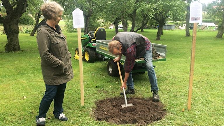 Maria Bergendahl, miljö- och kulturansvarig informatör och Tommy Fransson, kyrkovaktmästare på Åkerbo församling förbereder plantering av det nya äppleträdet från biskopen.